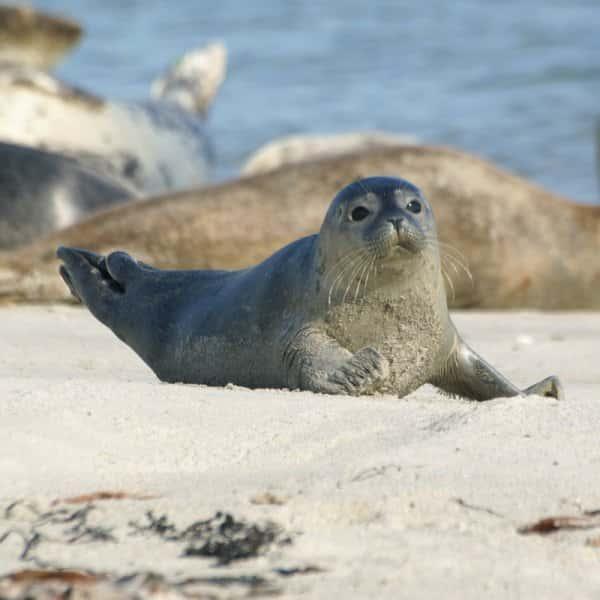 Seehunde und Kegelrobben Helgoland